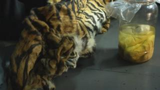 skin and four Sumatran tiger (Panthera tigris sumatrae) fetuses secured by officers