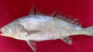 سوّا مچھلی، ورلڈ وائلڈ لائف فنڈ