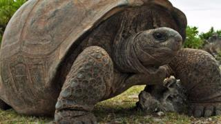 Rùa khổng lồ Aldabra