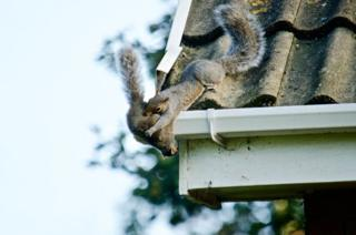 Squirrel holding another squirrel on a roof