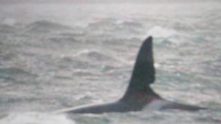 Orca John Coe