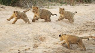 Lion cubs play on the banks of the Makhutswi River on July 21, 2010 in the Edeni Game Reserve, South Africa.
