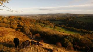 Cattle grazing on Leckhampton hill in the Cotswolds