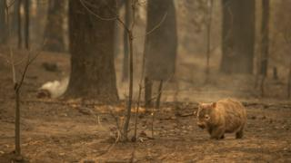A wombat looking for food in a bushfire-affected spot in the Kangaroo Valley in January 2020