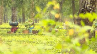 Tea estate workers in the fields
