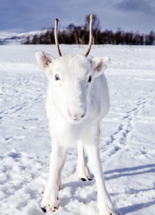 Reindeer looks down lens of camera