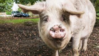 Хэмпширская свинья