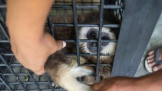 Endangered white-handed gibbon in cage