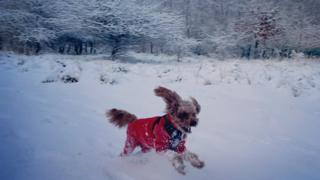 A cockapoo running through the snow