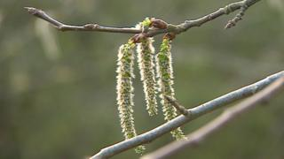 Aspen flowers form as catkins
