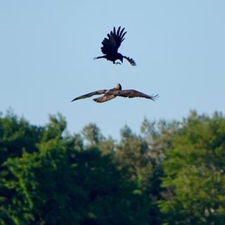 Crow and buzzard