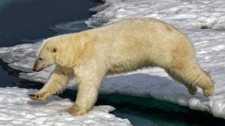 A polar bear negotiating some ice