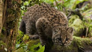 Güiña wildcat of Chile