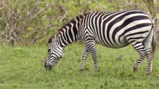 A zebra grazes in Cayo Saetía, Cuba