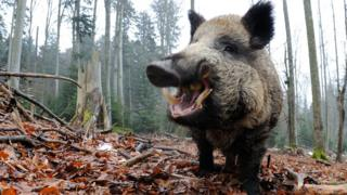 A wild boar (file photo)