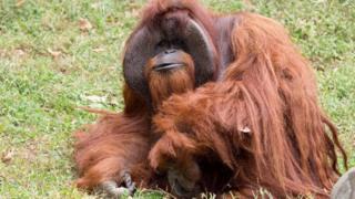 орангутан шантек