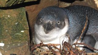 Маленькі блакитні пінгвіни живуть у норах