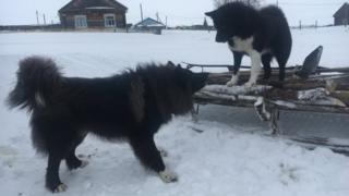 Ванзеватские собаки