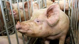 Свиноматка на ферме