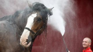 """Michael Mayberry washes """"Poacher"""", a Clydesdale from Campbeltown"""