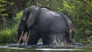 La population d'éléphants continue de diminuer en raison des conflits et des activités humaines, a souligné lundi un rapport de la convention CITES.