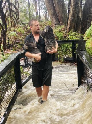 A staff member carrying koalas during a flash flood at the Australian Reptile Park in Somersby, north of Sydney. 17 Jan