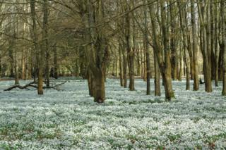 Snowdrops on woodland ground
