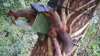 Red squirrels in Muff Glen