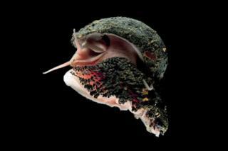 鳞足蜗牛(NHM)
