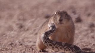 O 'duelo': documentário da BBC capta roedor enfrentando cobra para defender seus filhotes