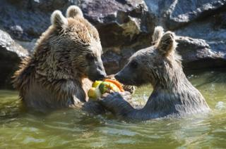 Two bears eat frozen fruit at a zoo in Switzerland