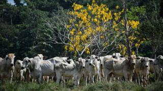 cattle-in-the-amazon-stand-in-front-of-the-forest.