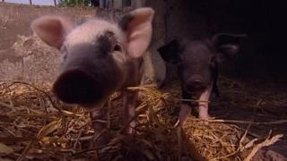 Pigs at Priestlands School in Lymington in 2008