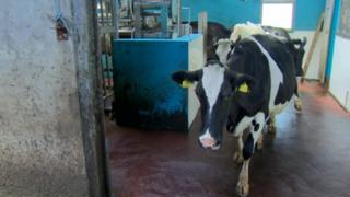 Cows in milking parlour