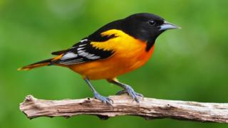Baltimore oriole (c) Gary Mueller, Macaulay Library at Cornell Lab of Ornithology