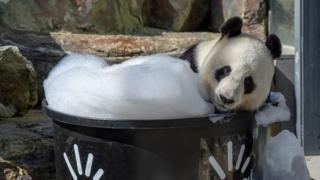 A panda lounges in a bubble bath at Adelaide Zoo