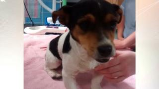 Jack Russell dog, thought to be between six and seven years old, has been nicknamed Tarmax.