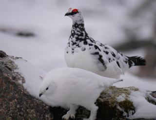 Male and female ptarmigans in the Cairngorms
