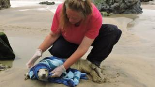 seal pup being rescued