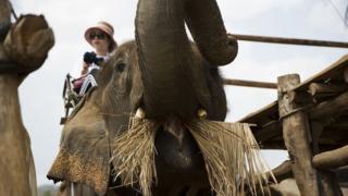 调查显示,有40%在泰国旅游的人表示他们已经或者计划骑大象游玩