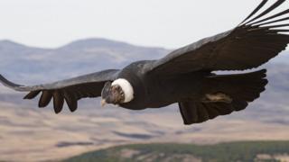 An Andean condor
