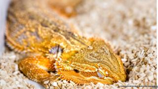 Sleeping dragon (Pogona vitticeps)