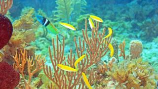 Harén donde se ve un macho de pez lábrido de cabeza azul y varias hembras