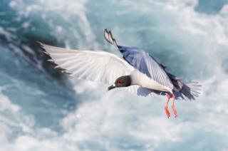 A swallow-tailed gull in flight