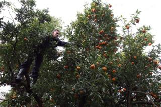 "An Algerian farmer picks mandarins in Boufarik, south of Algiers, Algeria on 25 November 2017. The city of Boufarik, also called ""The City of Oranges"", and its surrounding plantations are well known for the growing of orange and tangarines."