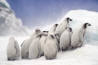 Маленькі пінгвіни горнуться одне до одного