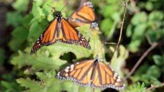 Monarch butterflies in a tree in Mexico