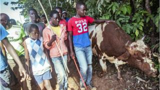 Crowds walk with defeated bull Tupa Tupa in western Kenya