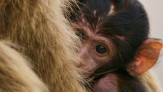 剛出生不久的小獼猴