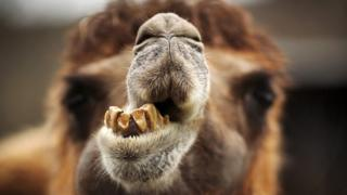 Uninteresting camel unlikely source of Russian practice delays thumbnail